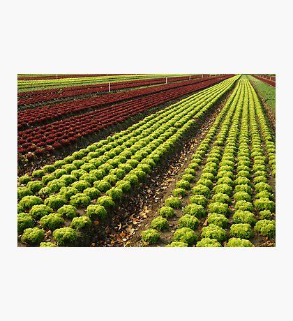 Lettuce Farm Photographic Print