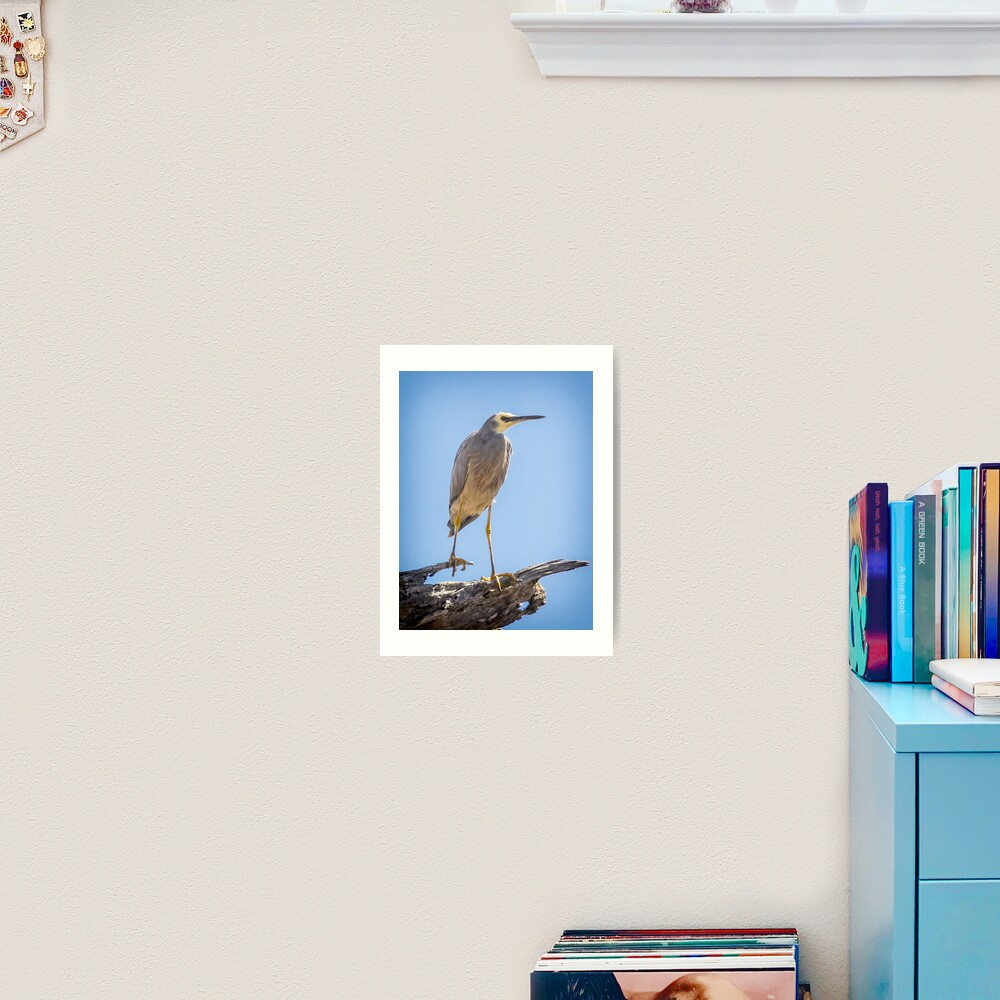 White-faced Heron Art Print