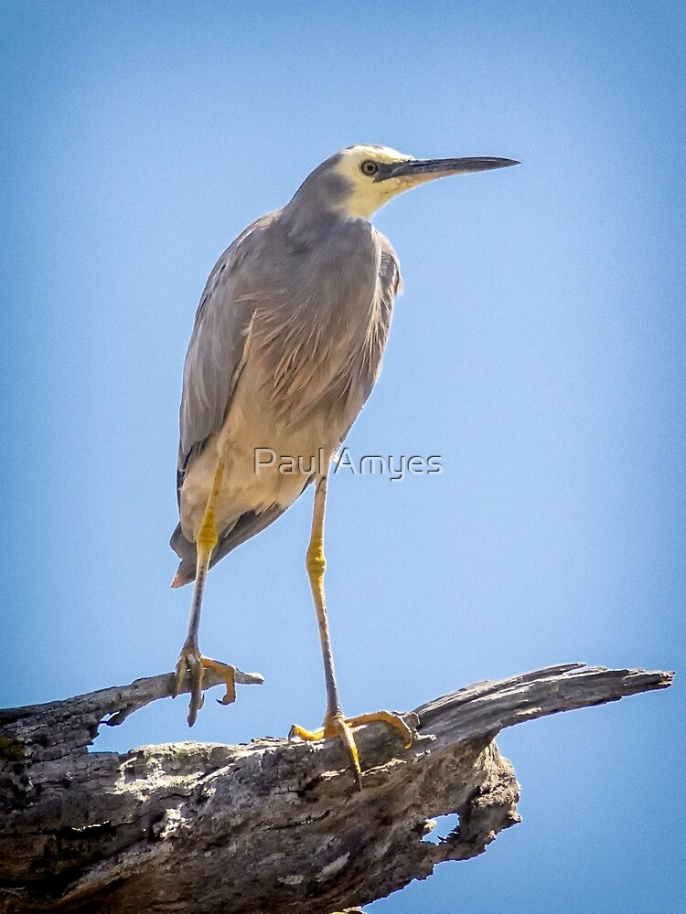 White-faced Heron by Paul Amyes