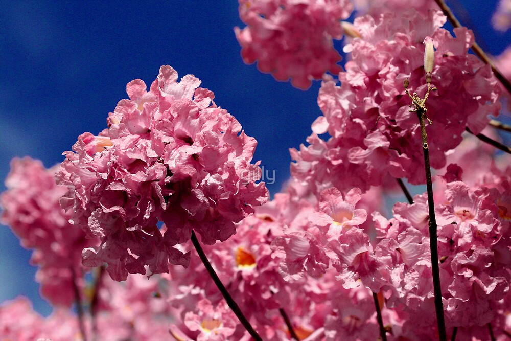 Pink Trumpet Tree by Gill Duncan