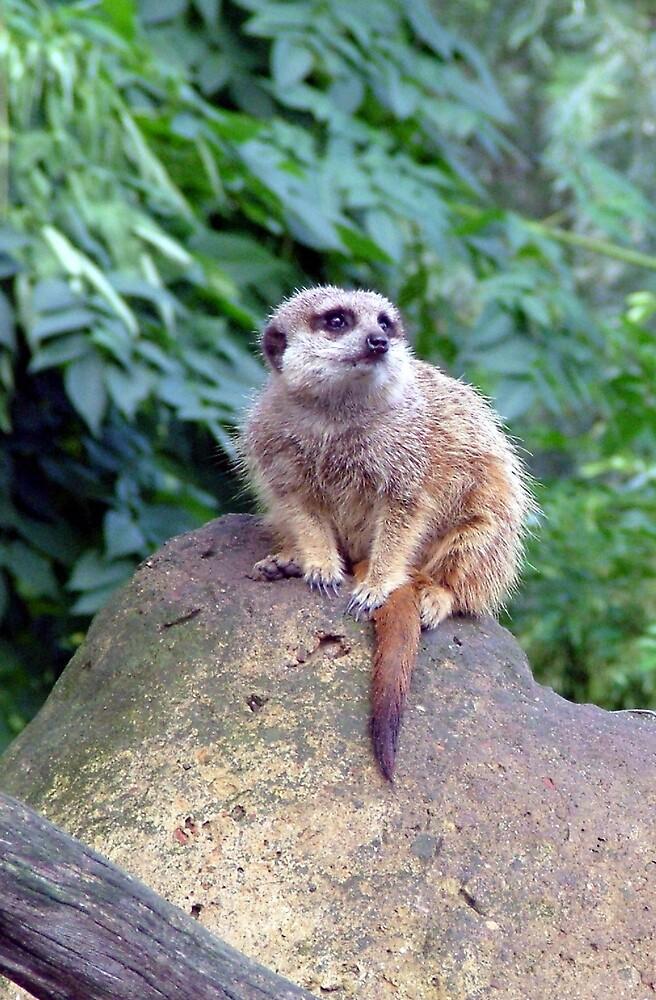 Meerkat on watch... by Lynn