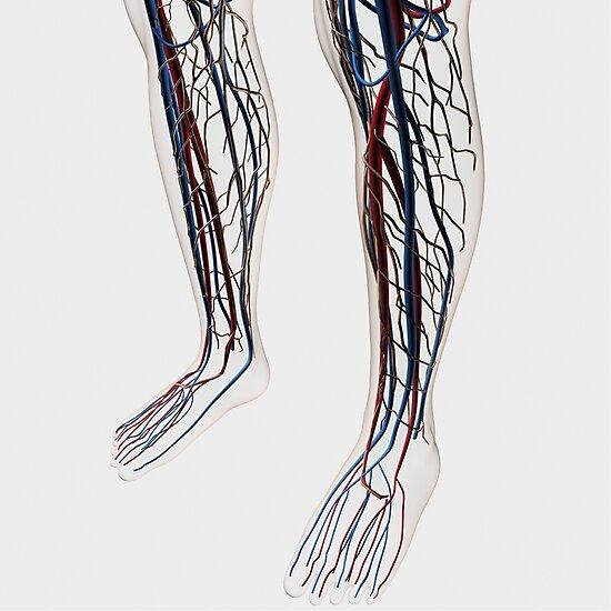 Láminas fotográficas «Ilustración médica de arterias, venas y ...