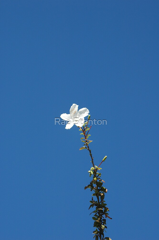 white flower by Rae Stanton