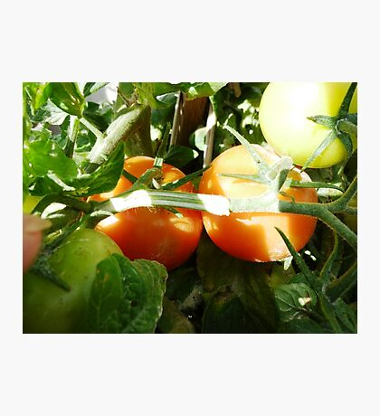 Ready to pick - Tomatoes  Photographic Print