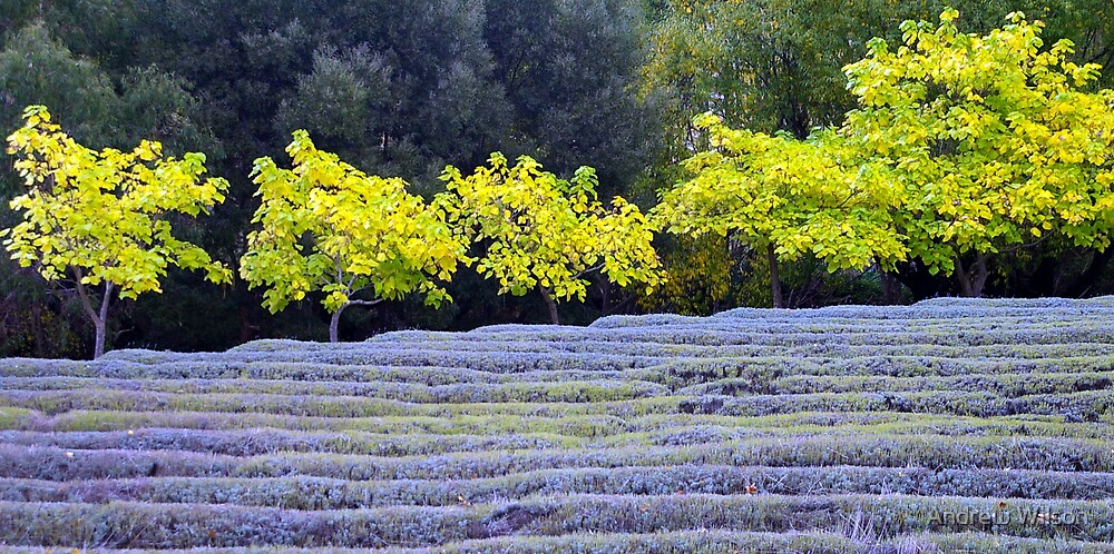 Lavender during fall by Andrew Wilson