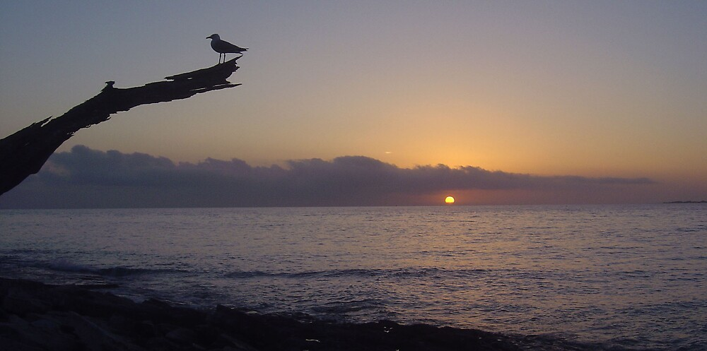 Wilson Island Morning Gull by Allan Steven