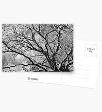 Snowy Oak Tree Postcards
