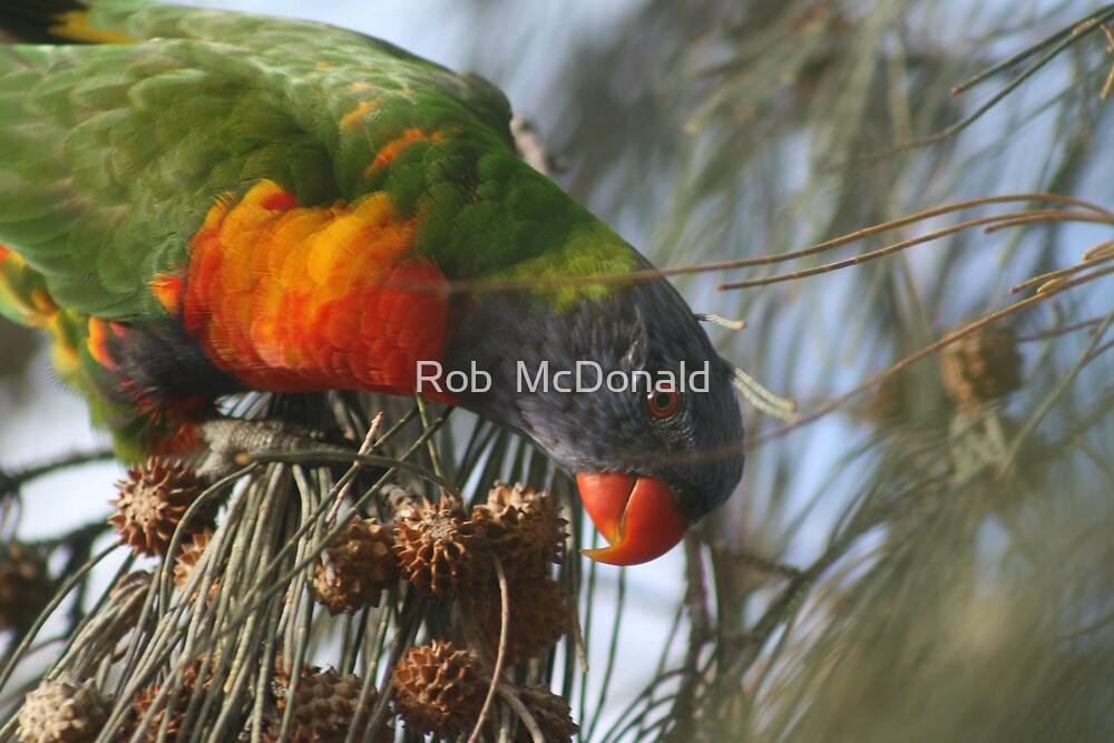 Rainbow lorikeet by Rob  McDonald