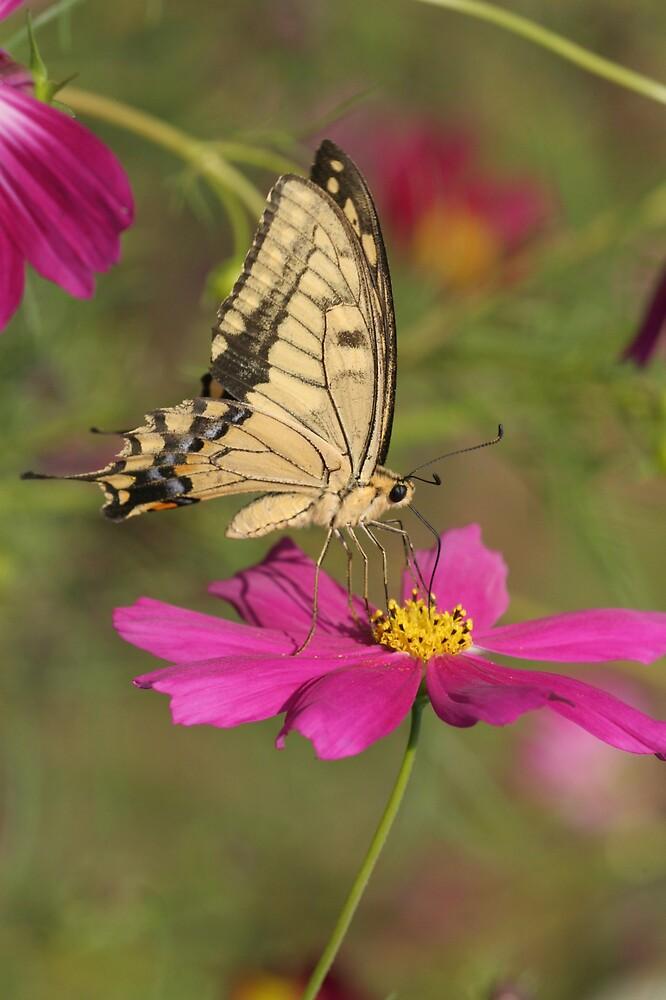 Beige & Black Butterfly on Hot Pink Flowers by hiratadigital