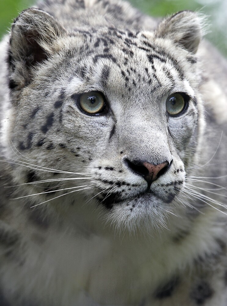 Snow Leopard by RedChevy