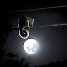 Possum & The Moon by Alexander Kesselaar