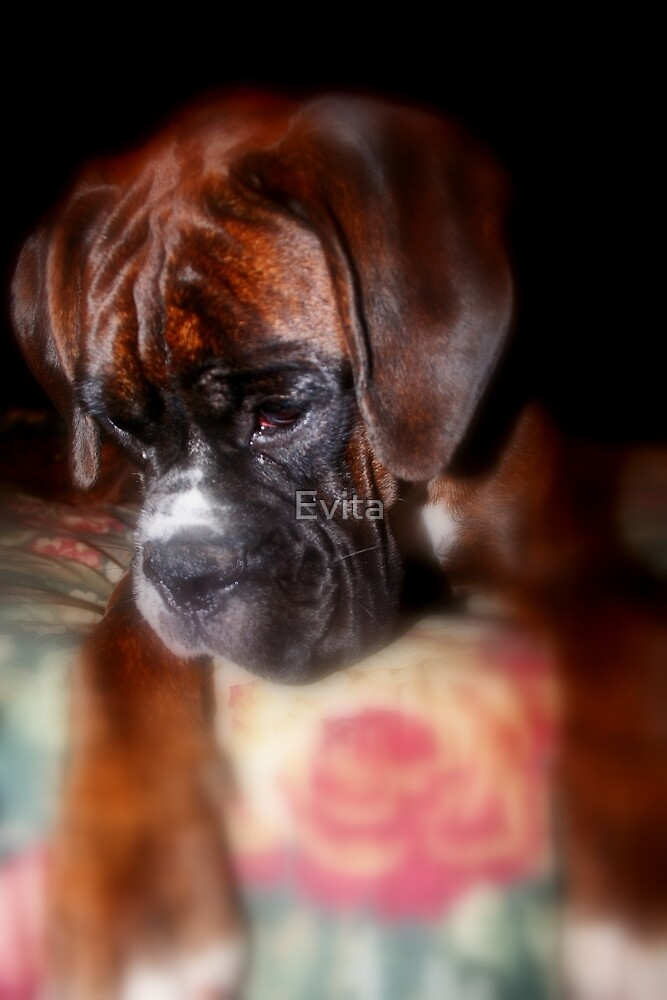 I'm Sorry  -Boxer Dogs Series- by Evita