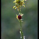 Lady Bug by Simone C