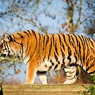 Sumatran Tiger by JEZ22