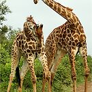 GIRAFFE BATTLES - Giraffa Camelopardalis (KAMEELPERD) by Magriet Meintjes