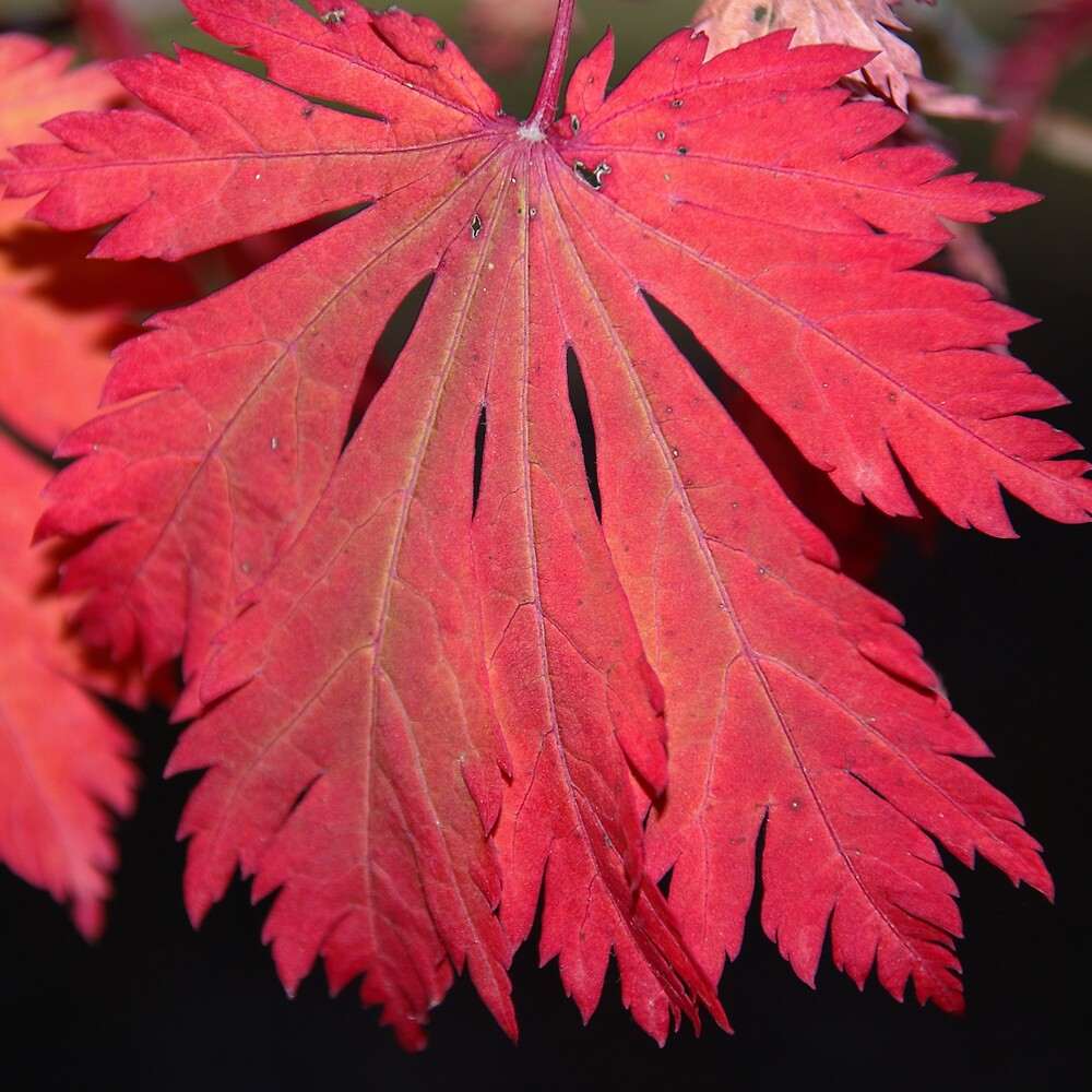 Scarlet Red Autumn Leaf by Emma Newman