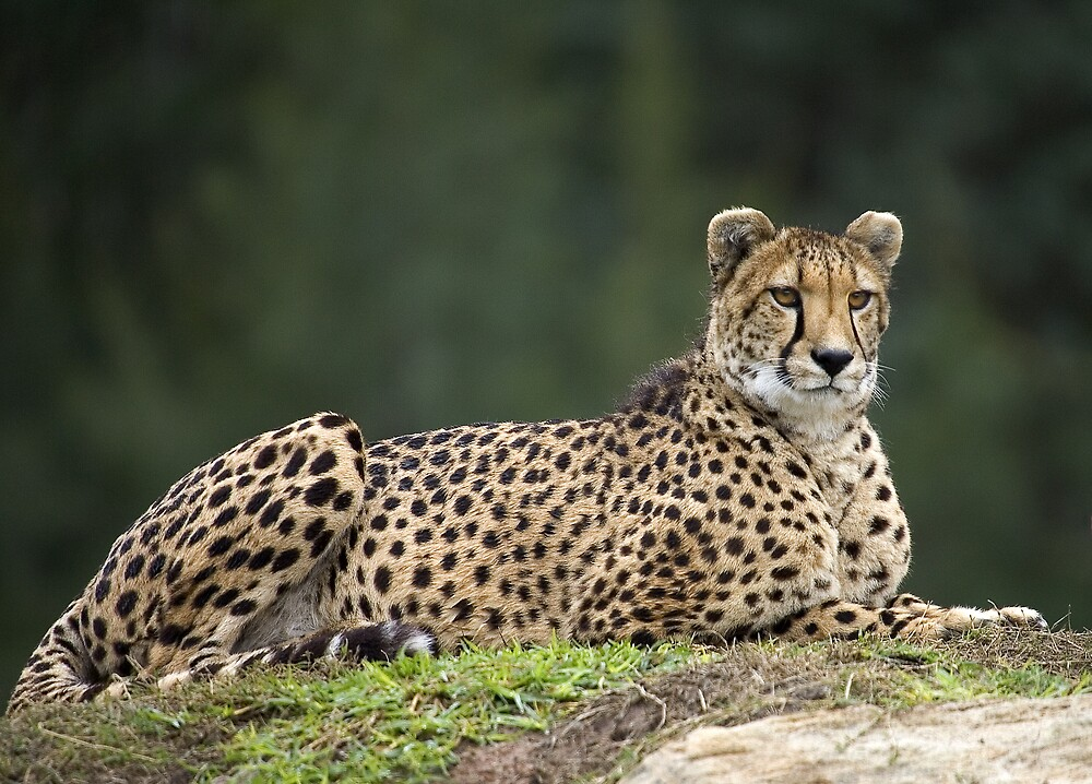 Cheetah Mum by RedChevy