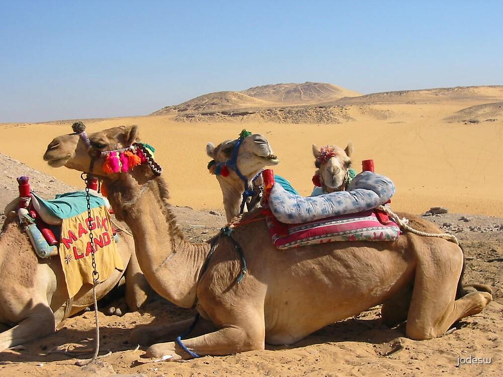 Camel huddle by Jodi Webb