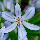 Agapanthus Spider by Penny Smith