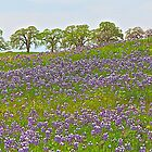 Lupines and Oaks by John Butler