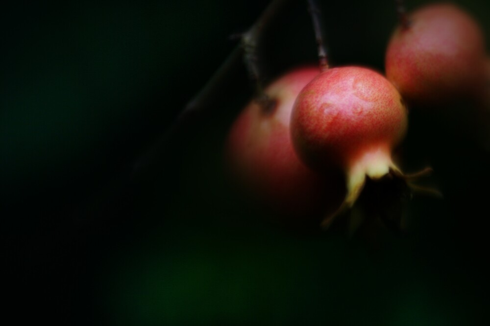 Pommegranates by rick strodder
