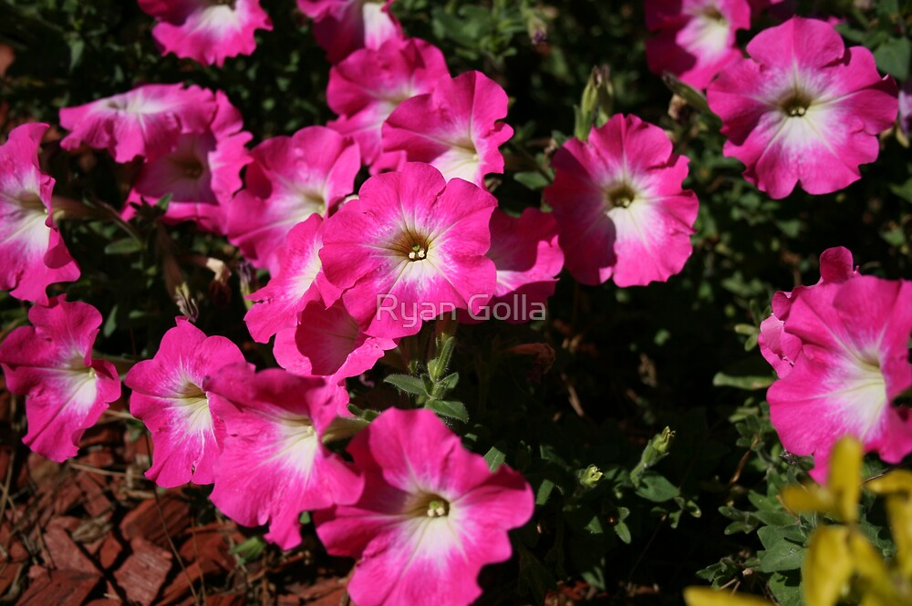 Pink Flowers by Ryan Golla