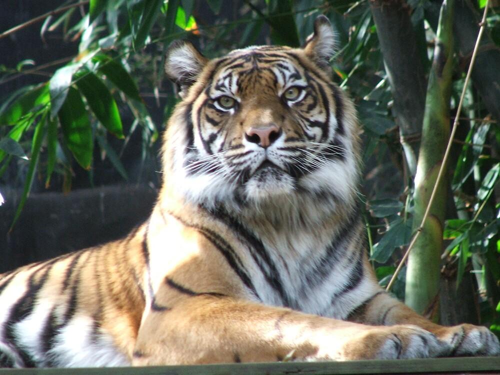 tiger 1 by simonsinclair