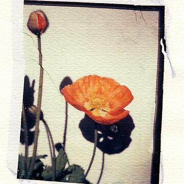 Poppies by trundles