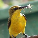 Sunbird (Female) by triciaoshea