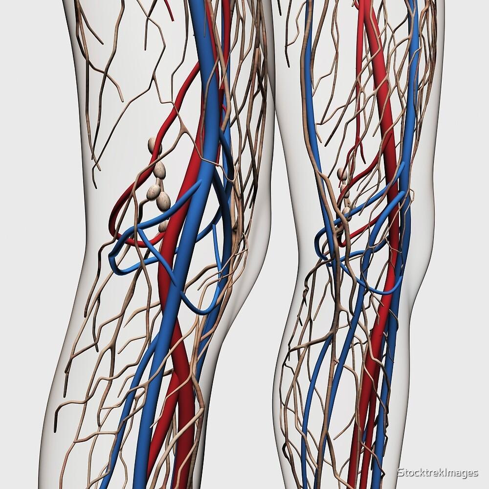 Medizinische Illustration von Arterien, von Adern und von ...