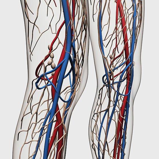 Pósters «Ilustración médica de arterias, venas y sistema linfático ...