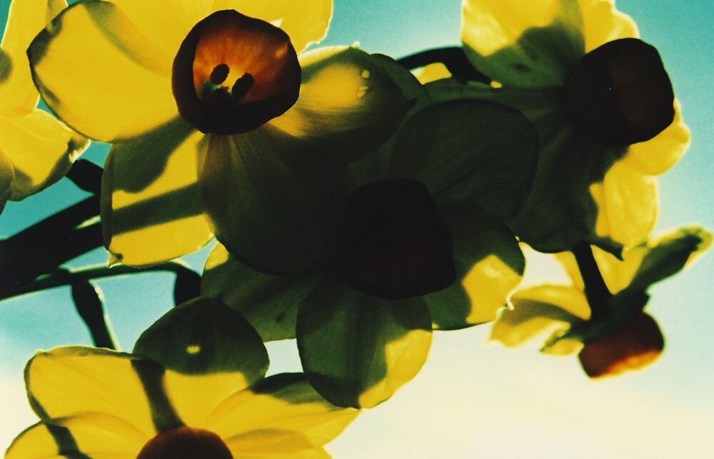 Jonquils6 by danno