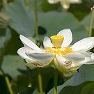 White Lotus by Judi Corrigan