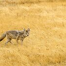 Yellowstone Coyote by Sue Smith