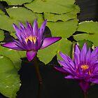 Purple Lotus by Judi Corrigan