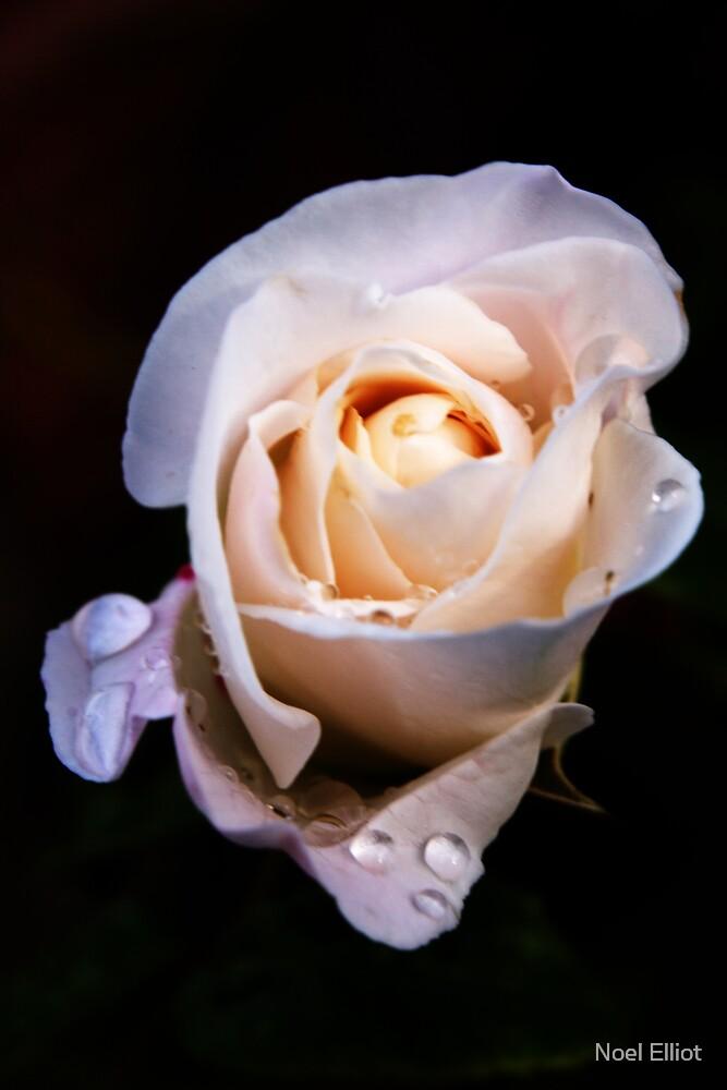 Rose by Noel Elliot