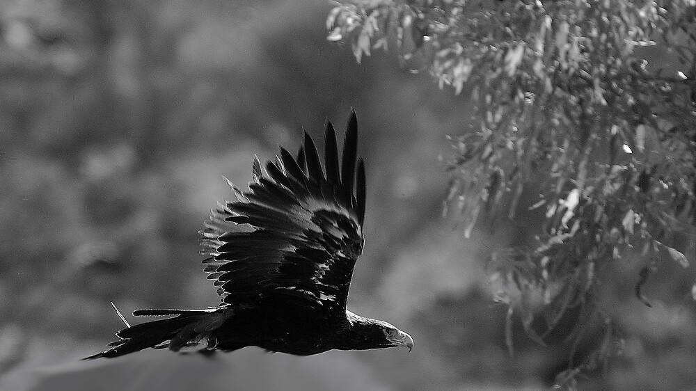 Wedgetail eagle 2 by matthew maguire