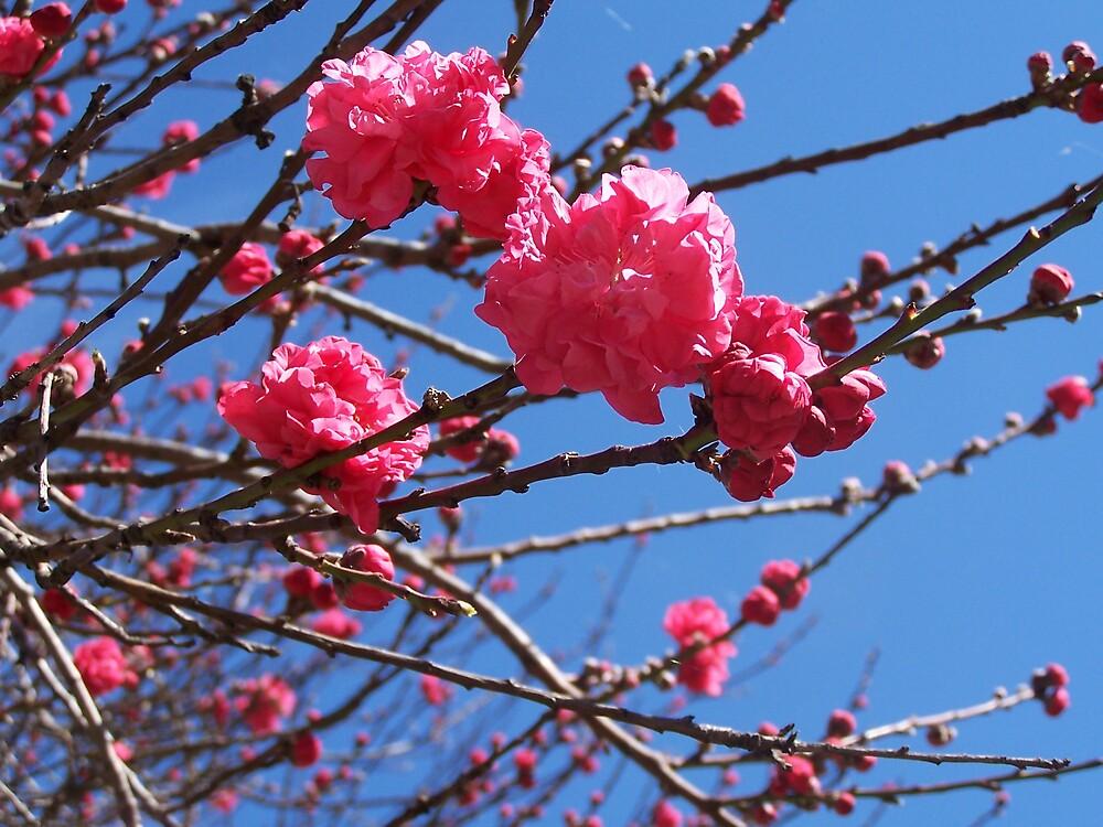 Pink Blossom by Princessbren2006