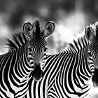 Zebra stripes by GinnyScholes