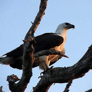 White Breasted Sea Eagle by lettuce