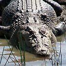 Estuarine Crocodile by Brett Habener