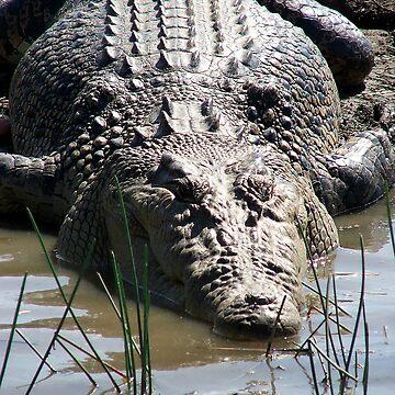 Estuarine Crocodile by lettuce