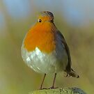 ROBIN REDBREAST by NICK COBURN PHILLIPS