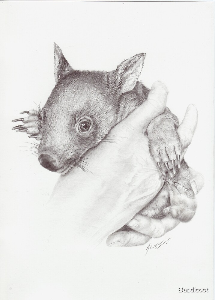 Young Wombat in care by Bandicoot
