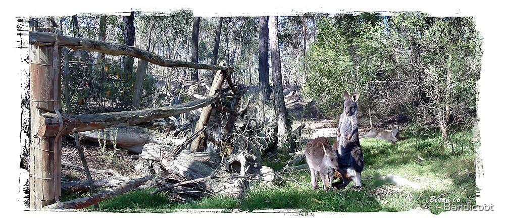 Joey Kangaroos by Bandicoot