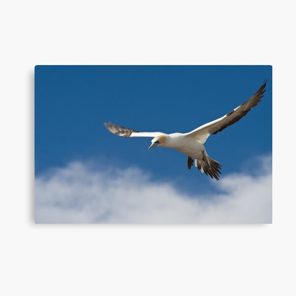 Gannet in flight Canvas Print