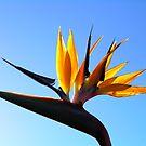 Bird Of Paradise by Tim Condon