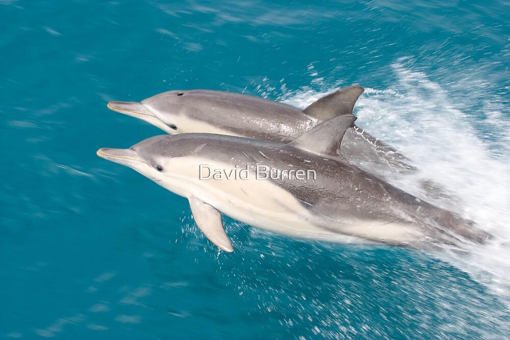 Dolphin Pair by David Burren