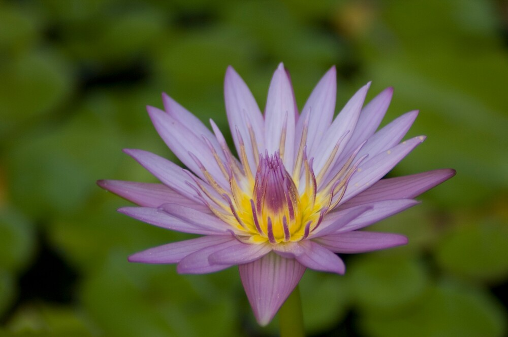 Purple Waterlily on the Pond by Craig Goldsmith