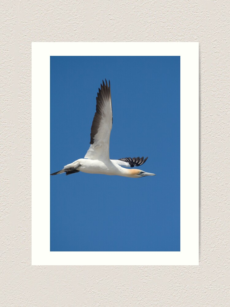 Alternate view of Gannet after take-off Art Print